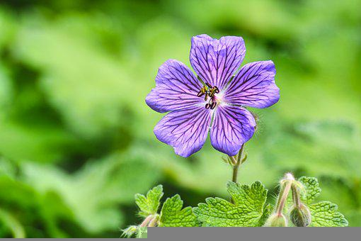 Mallow, Hollyhock Flower, Purple Flower