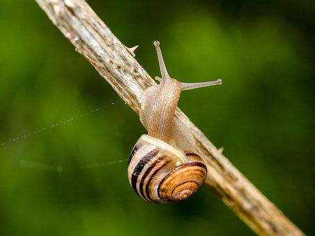 Snail, Shell, Mollusk, Gastropod, Invertebrate