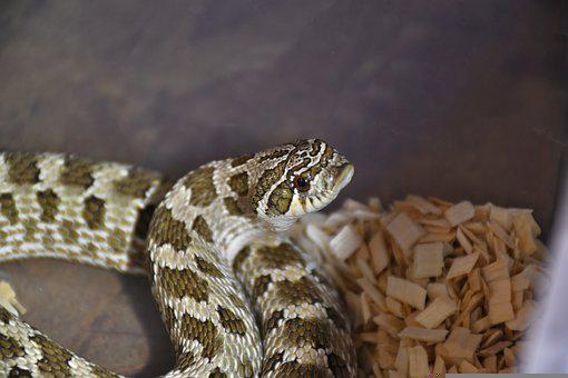 Snake, Python, Reptile, Wildlife, Nature