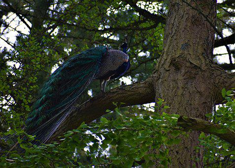 Peacock, Tree, Bird, Feathers, Perched, Pattern