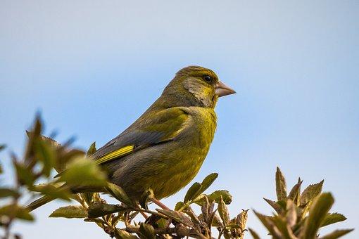Greenfinch, Bird, Perched, Perched Bird, Beak, Feathers