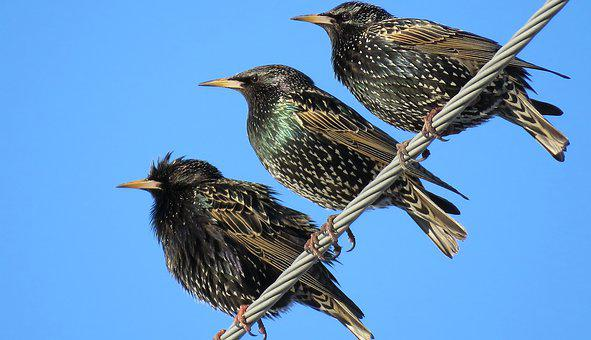 Starlings, Birds, Perched, Perched Birds