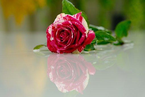 Flower, Rose, Reflection, Petals, Pink Rose