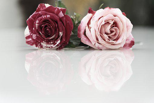 Flowers, Roses, Reflection, Petals, Pink Roses
