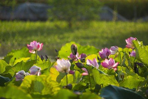 Lotus, Flowers, Pink Flowers