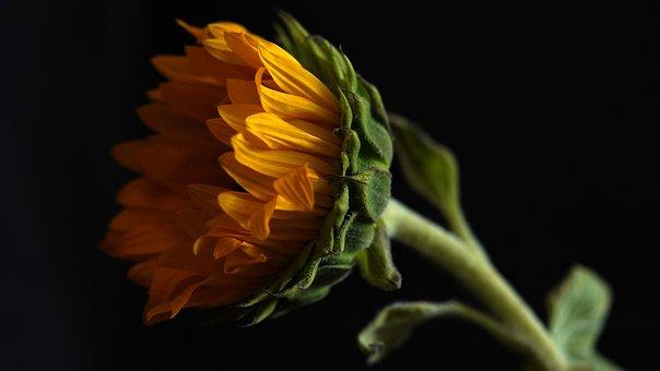 Sunflower, Sunflower Oil, Healthy, Eat, Flower, Plant