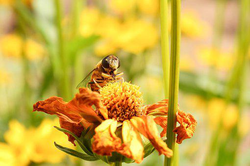 Hoverfly, Flower, Pollen, Pollinate, Pollination, Bloom