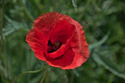 Poppy, Flower, Red, Red Poppy, Red Flower, Petals
