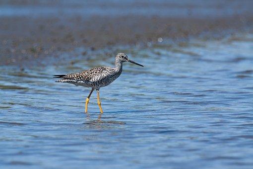 Sandpiper, Bird, River, Wader, Shorebird, Animal