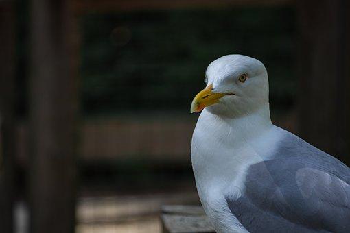 Seagull, Bird, Gull, Water Bird, Seabird, Beak