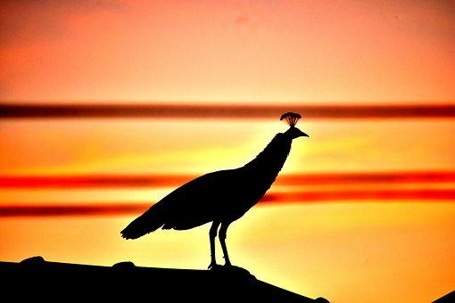 Pea Hen, Peacock, Silhouette, Bird, Sunset, Nature