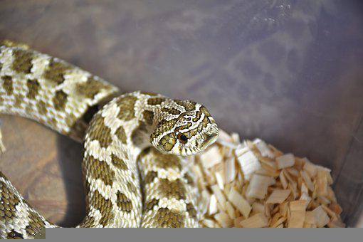 Snake, Python, Reptile, Wildlife, Nature, Dangerous