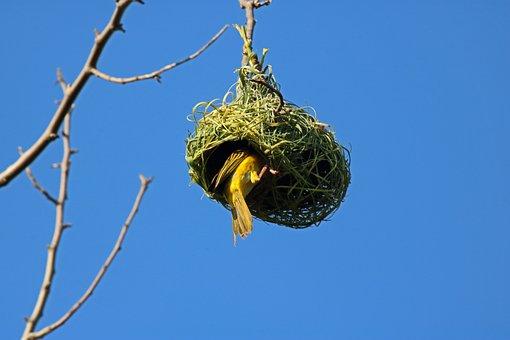Southern Masked Weaver, Bird, Yellow Bird, Nest