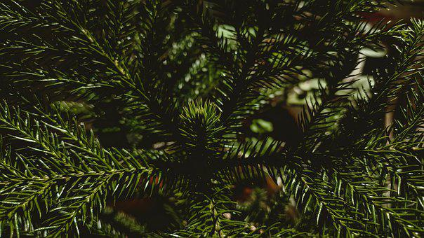 Spruce, Needles, Branch, Leaves, Pine, Conifer