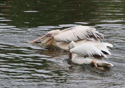 Pelicans, Birds, Pond, White Pelicans, Water Birds