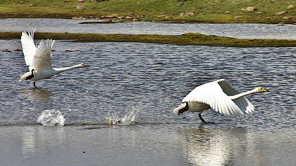 Geese, Flight, Start, Wing, Water, Take Off