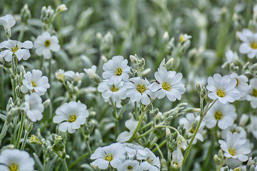 Mouse-Ears, White Flowers, Petals
