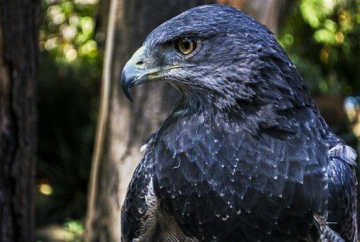 Eagle, Bird, Animal, Bird Of Prey, Raptor, Wildlife