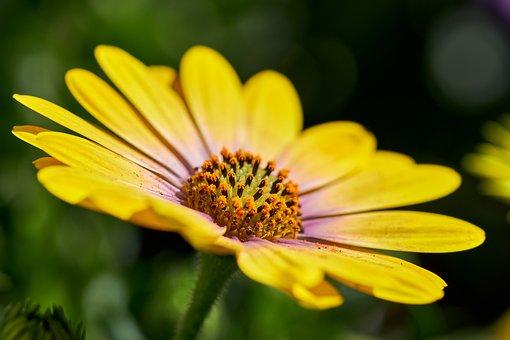 African Daisy, Yellow Daisy