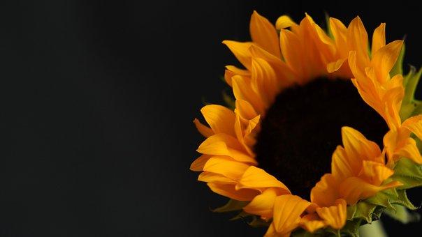Sunflower, Flower, Close Up, Yellow Flower