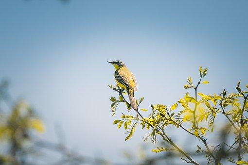 Yellow Wagtail, Bird, Animal World, Nature