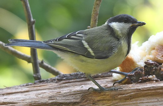 Titmouse, Bird, Animal, Feathers, Beak, Birdwatching