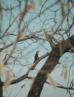 Woodpecker, Tree, Branches, Bird, Perched, Perched Bird