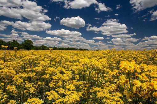 Butterweed, Yellow Field, Wild Flowers, Spring