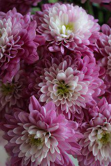 Chrysanthemums, Flowers, Pink, Petals