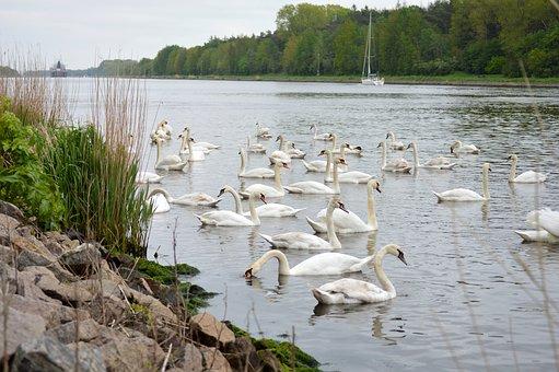 Swans, North America, Mecklenburg, Sailing Boat