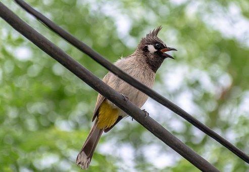Bulbul, Bird, Perched, Perched Bird, Beak, Feathers