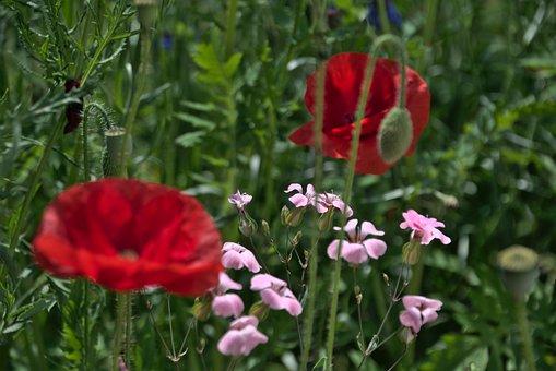 Flowers, Plants, Meadow, Poppy, Red Poppy, Petals, Buds