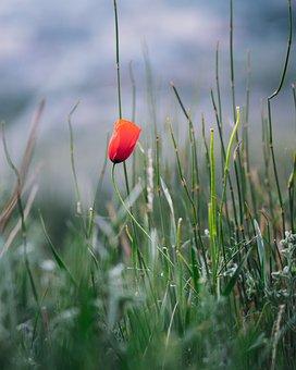 Poppy, Flower, Plant, Orange Poppy, Orange Flower