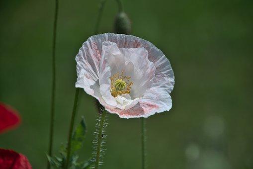 Poppy, Flower, Plant, White Flower, Petals, Bloom