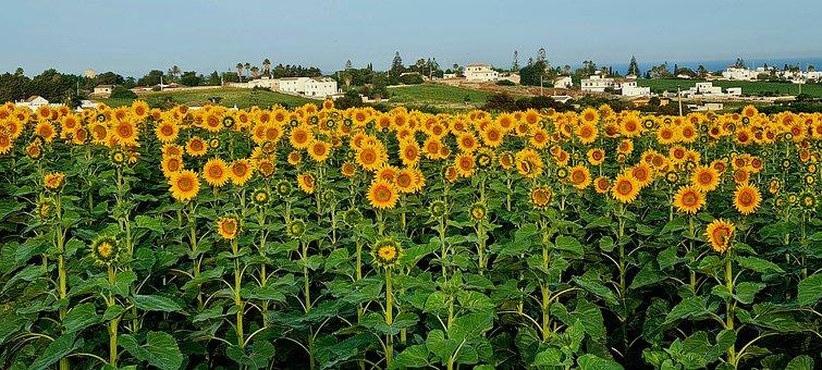 Sunflowers, Field, Agriculture, Sunflower Field