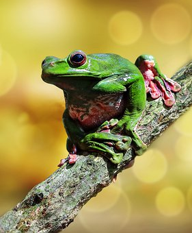 Tree Frog, Branch, Tree, Green Frog, Amphibian