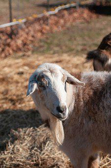 Goat, Farm, Animal, Mammal, Livestock, Agriculture