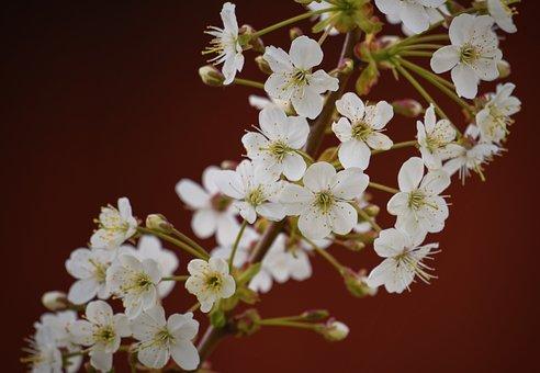 Apple Blossoms, White Flowers, Flowers, Tree