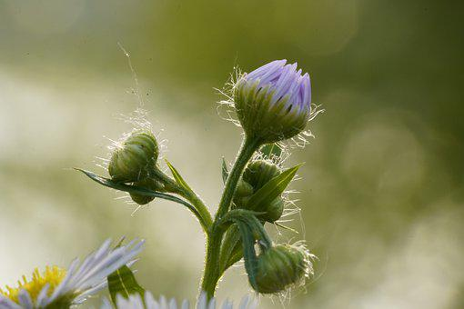 Flowers, Aster, Flower Buds, Plant