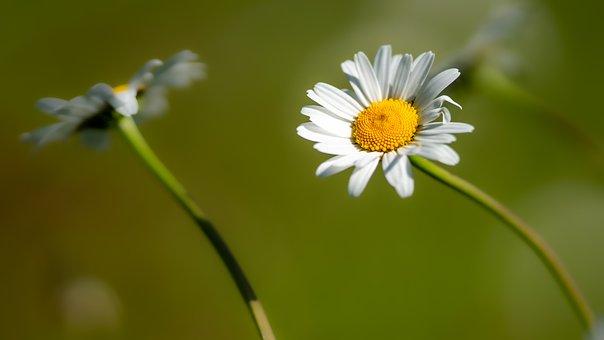 Daisy, Marguerite, Flower, Plant, Blossom, Bloom, Flora