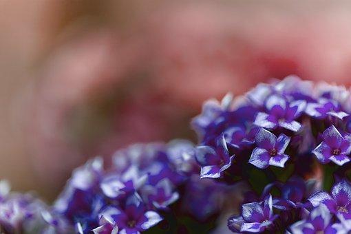Kalanchoe, Flowers, Plant, Nature, Bloom