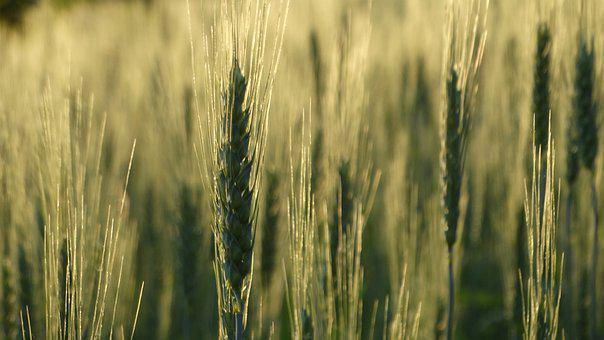 Wheat, Plant, Field, Cereal Grains, Sunset