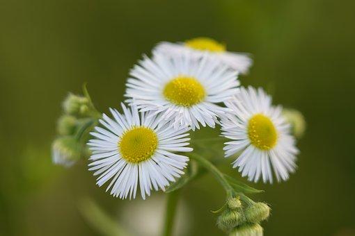 Flowers, Daisies, White Flowers, Petals