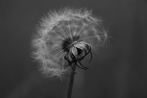 Dandelion, Wildflower, Seeds, Seed Head