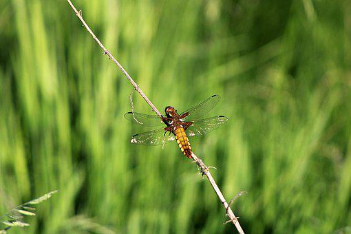 Four-spotted Chaser, Dragonfly, Insect, Wings