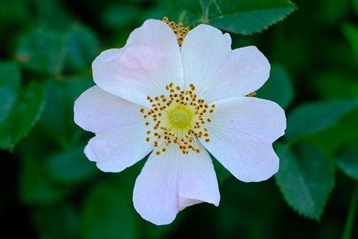 Flower, White Petals, White Flower, Wildflower, Petals