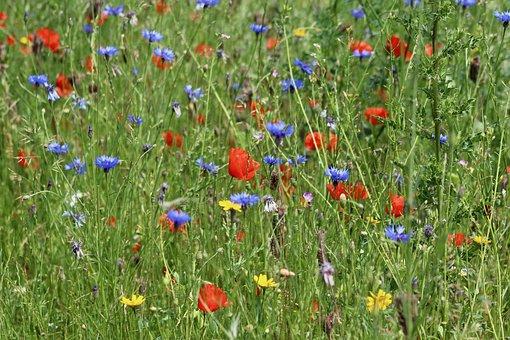 Flower Meadow, Poppies, Cornflowers, Flowers