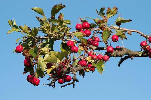 Rosehip, Fruits, Branch, Leaves, Plant, Shrub, Tree