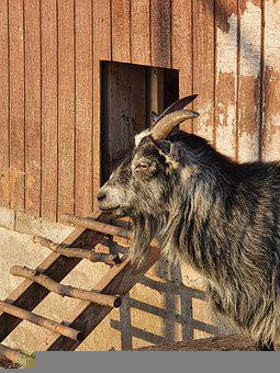 Goat, Animal, Horn, Nature, Agriculture, Countryside
