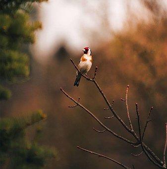 Bird, Animal, Goldfinch, Ave